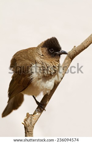 Dark-Capped BulBul (Blackeyed); Pycnonotus tricolor - stock photo
