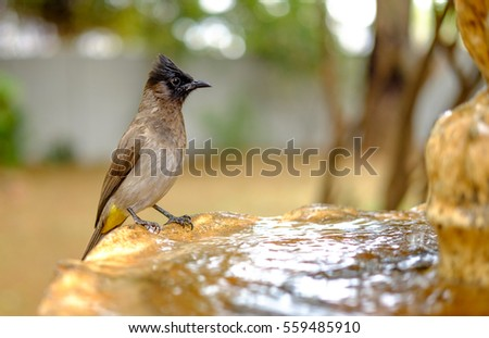 Dark Capped Bulbul drinking water from a fountain