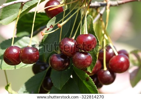 Dark cherry branches with green leafs in summer season