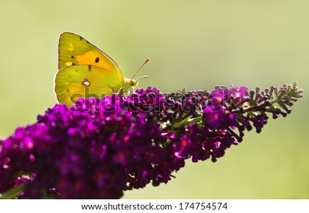 Dark Clouded Yellow Butterfly or Colias crocea on purple Butterflybush in summer garden - stock photo