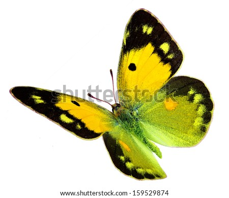 Dark Clouded Yellow (Colias croceus) in flight isolated on a white background