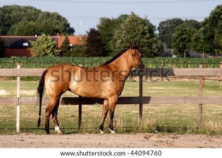 Dark Dun Quarter Horse standing straight up - stock photo