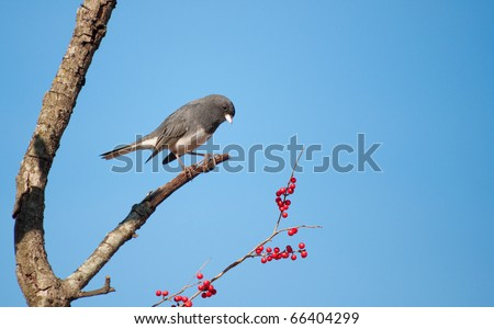Dark-eyed Junco, Junco hyemalis, perched in a Possumhaw tree against clear blue sky, looking at red berries to eat - stock photo