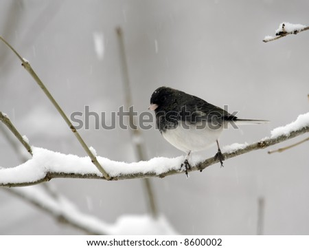 Dark-eyed junco perched on a snowy tree branch - stock photo