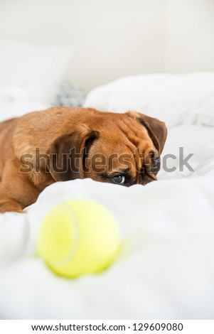 Dark Fawn Puggle Dog Laying on Owners Bed with Tennis Ball not Interested in Playing - stock photo