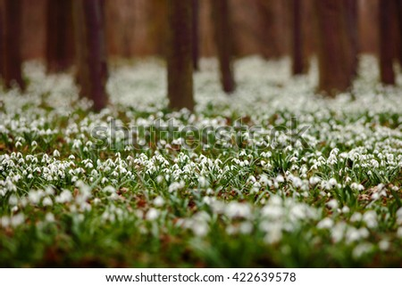Dark forest full of snowdrop flowers in spring season - wide-angle view of nature with extremely blurred background. Snowdrop flowers in the forest. White snowdrop flowers in the nature habitat. - stock photo