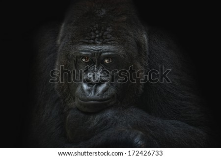 dark gorilla portrait