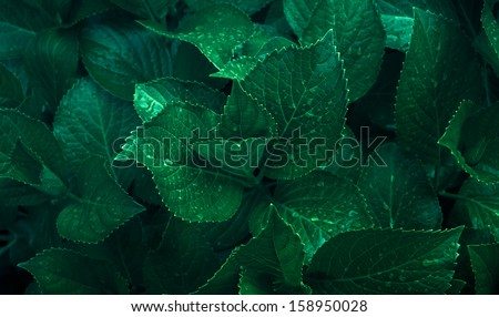 Dark green foliage of a healthy plant with serrated leaves glistening with raindrops. Low key, horizontal background or banner. - stock photo