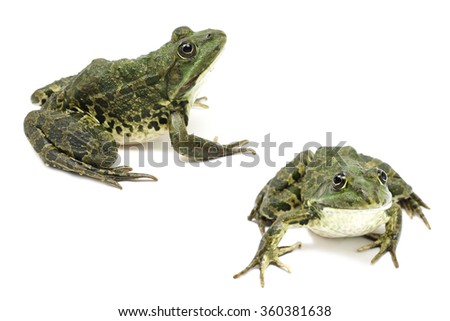 dark green striped frog on a white background