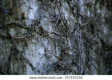 Dark grey stone wall of old building covered with wild dry grapevine liana branches gothic scary surface gloomy background outdoors, horizontal picture - stock photo