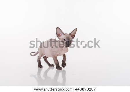 Dark Hairless Very Young Peterbald Sphynx Cat on the white table with reflection. Looking Straight