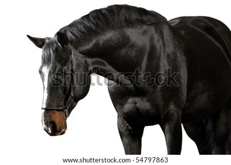 Dark horse isolated on white background - stock photo
