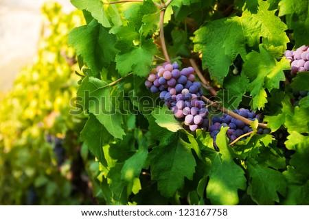 Dark juicy grape growing on sunny midday - stock photo