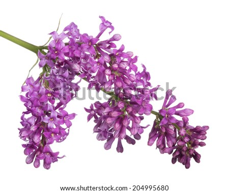 dark lilac flowers isolated on white background