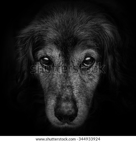 dark muzzle spaniel dog closeup. front view