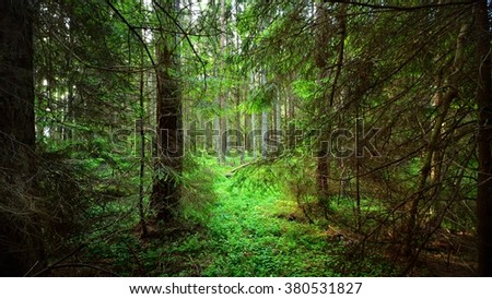 Dark northern pine forest scene