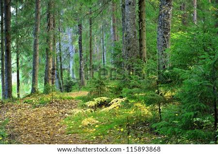 dark pine forest scene - stock photo