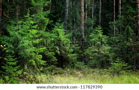 dark pine forest scene - stock photo