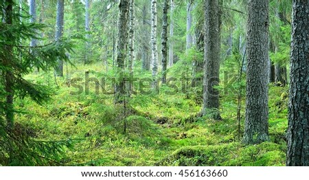 Dark pine tree forest scene in Russia