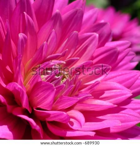Dark Pink Dahlia - stock photo