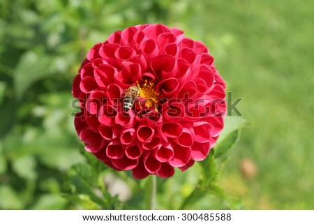 """Dark pink """"Dahlia"""" flower with a bee in Innsbruck, Austria. Dahlias are native to Mexico and declared the national flower of Mexico in 1963. (See my other flowers) - stock photo"""