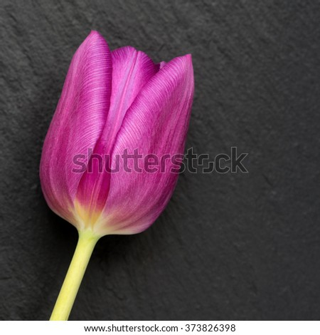 Dark pink tulip on a slate background - stock photo