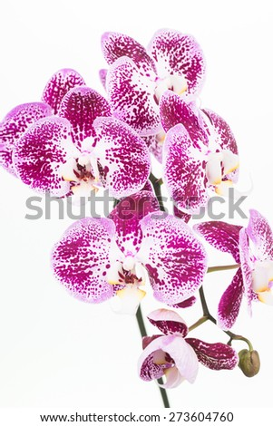 Dark purple and white Moth orchids close up over white background - stock photo