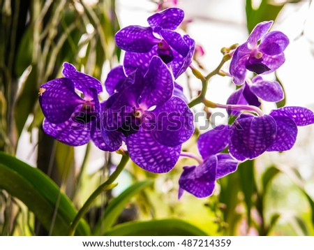 Dark Purple Blue Orchid Blooming And Buds Is Queen Of Flowers