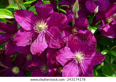 Dark purple clematis flowers with white finger stamens in sunlight. - stock photo
