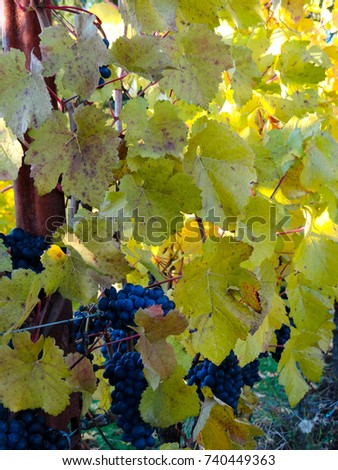 Dark purple grapes still hang on this row of vines covered in golden leaves in a fall vineyard in Oregon.
