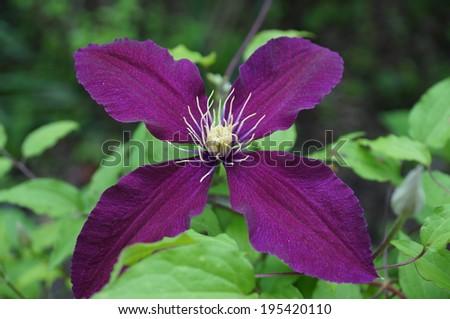Oscuro púrpura flores Clip Art - ClipartFest