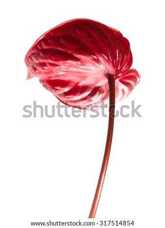 dark red  anthurium isolated on white background - stock photo
