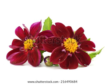 Dark red dahlia flower on a white background   - stock photo