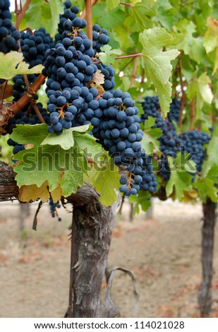 Dark red grapes on the vine in a vineyard. - stock photo