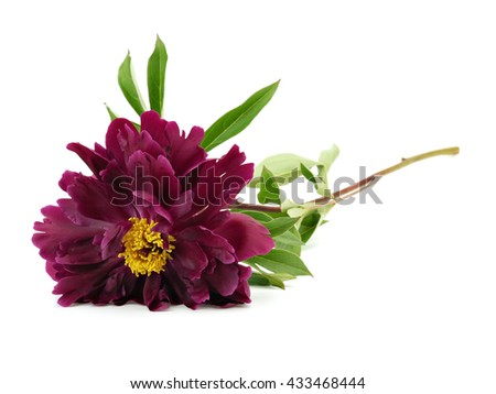 Dark red peony flower on a white background - stock photo