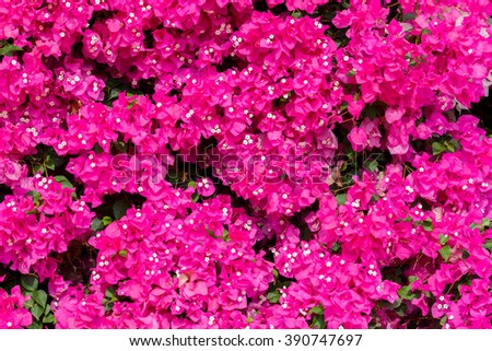Dark ripe pink bougainvilleas with small white flowers background
