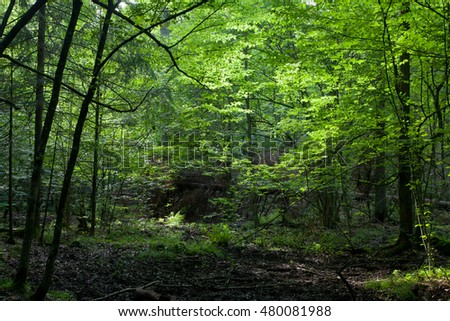 Dark shady deciduous stand in summer noon,Bialowieza Forest,Poland,Europe