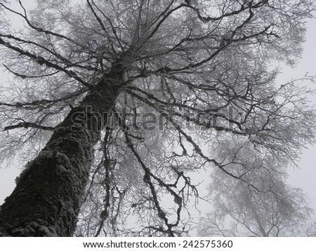 Dark Silhouette Of A Bare Tree In A Cold Winter Day                                - stock photo