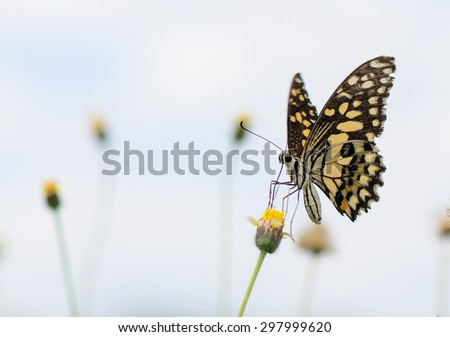 Dark Veined Jay butterfly collecting nectar on wild flower. - stock photo
