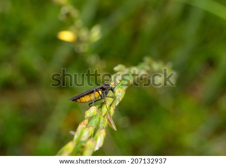 dark-winged fungus gnat, grass