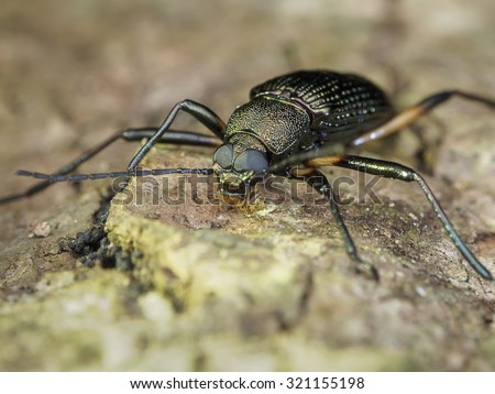 Darkling Beetle/Darkling Beetle/Darkling Beetle
