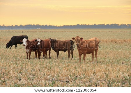 darling downs cattle grazing on grain stubble sunrise - stock photo