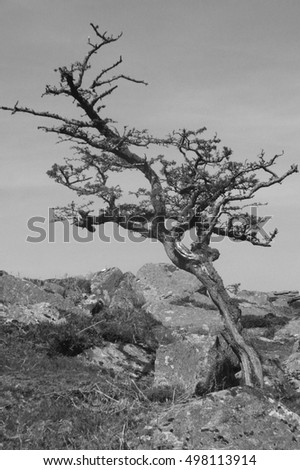 Dartmoor solitary tree