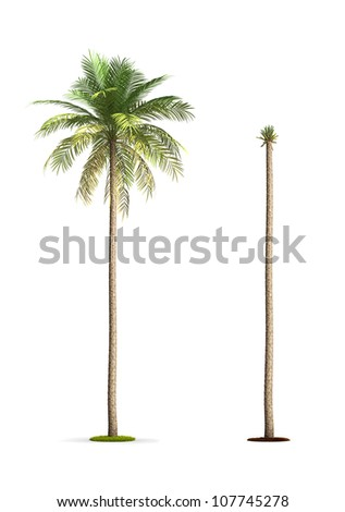 Date Palm Tree. High resolution image isolated on white. More trees are available on our portfolio.