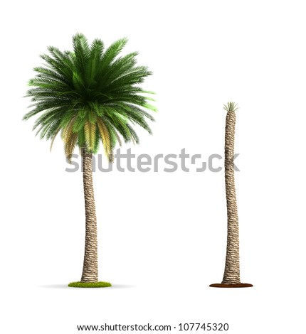 Date Palm Tree. High resolution image isolated on white. More trees are available on our portfolio. - stock photo