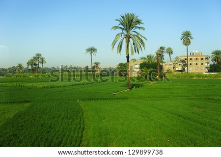 date palm tree in farm land of egypt - stock photo