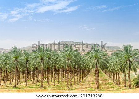 Date palm trees on orchard plantation in Galilee Jordan valley against Israel Golan Heights  - stock photo