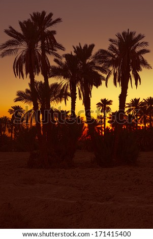 Date palm trees with sunset in Morocco, Africa