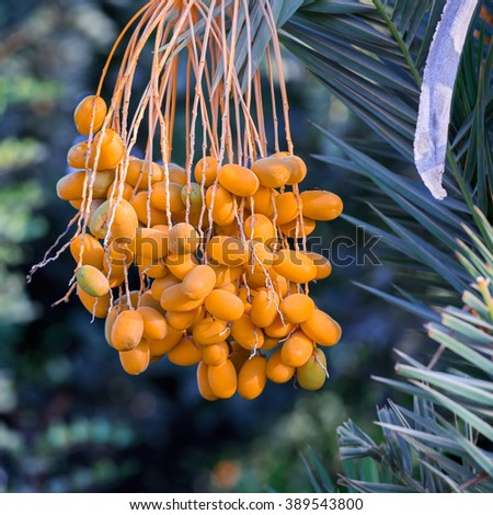 Dates on the palm tree - stock photo