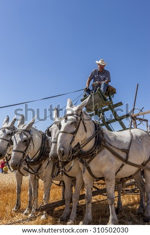 Davenport, WA. USA - Aug 22, 2015. A farmer on the seat driving the team of horses in a vintage harvest event in Davenport, Washington August 22, 2015. - stock photo